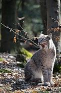 Lynx licking his lips