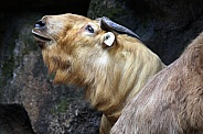 Golden Takin