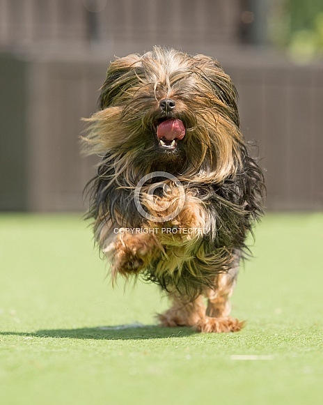 Long Haired Miniature Yorkshire Terrier Running Wildlife