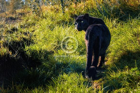 Leopard - Black Female Leopard
