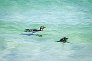 Penguins in clear water