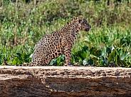 Sitting Jaguar