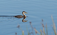 Young Red-necked Grebe in Alaska