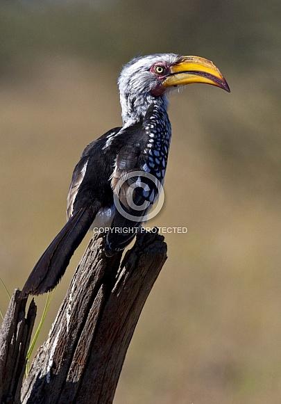 Yellow billed Hornbill (Tockus flavirostris)