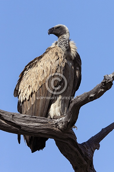 Cape Vulture - Botswana
