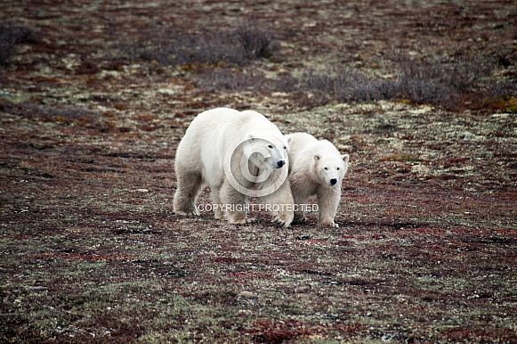 Wild Polar Bear with cub