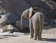 Newborn African Elephant Calf