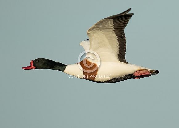 Male Common Shelduck in Flight