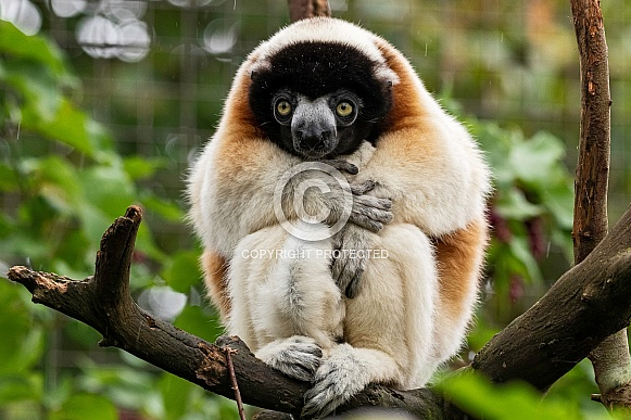 Crowned Sifaka Full Body In Tree