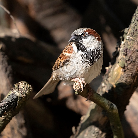 House sparrow (Passer domesticus)