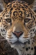 Jaguar Closeup (Panthera Onca)