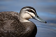 Pacific black duck (wild).