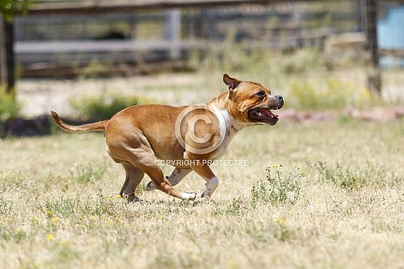 Staffordshire terrier running in the grass