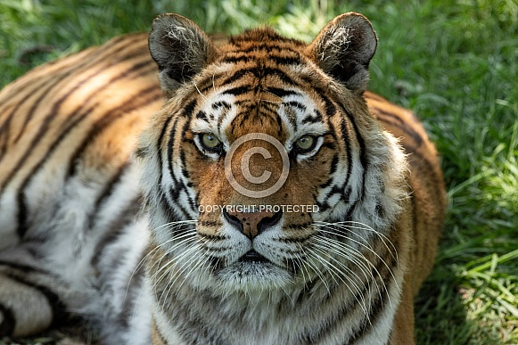 Bengal Tiger Close Up Face Shot