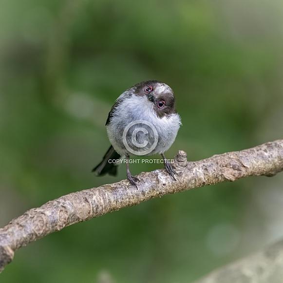 Long tailed tit juvenile