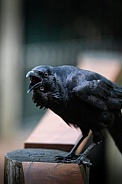 Cawing Crow
