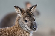 The swamp wallaby (Wallabia bicolor)