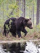 Eurpoean brown bears