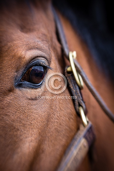 Thoroughbred's Eye