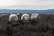 Dutch sheep