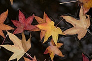 Floating Autumn Leaves.