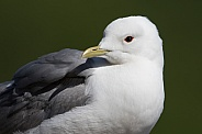 Common Mew Gull Closeup