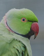 green ring necked parakeet