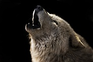 Arctic Wolf Howling Close up