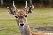 close up, young Persian fallow deer