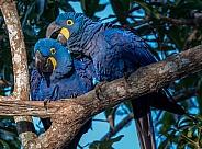 Preening Hyacinth Macaws