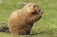Black Tailed Prairie Marmot Eating