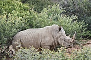Rhinoceros in the Brush