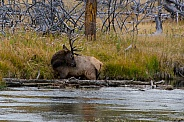 Bull Elk bathing in the Madison River