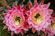 Torch Cactus Macro