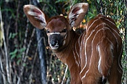 Bongo Antelope Calf Young Baby