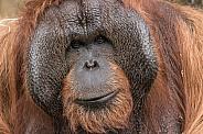 Male Bornean Orangutan Close up