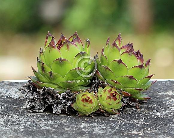 Sempervivum Succulent Plant
