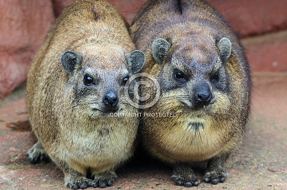Cape Hyrax couple