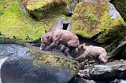 Wild adult grizzly with cub