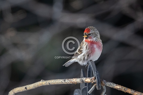 Common Male Redpoll Perching on a Branch