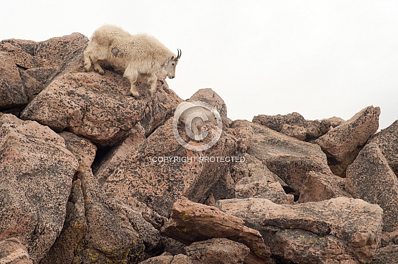 Nanny mountain goat with kids descending rock face