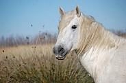 Camargue Horse Portrait