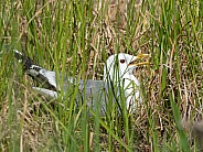 Mew Gull Nesting in Alaska