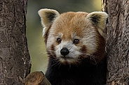 Red Panda Looking Round A Tree