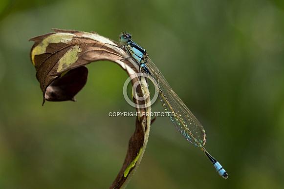 Common bluetail damselfly