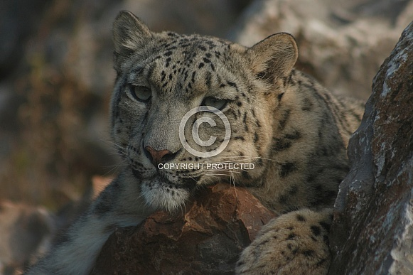 Close Up Snow Leopard Resting