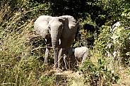 African Elephant & Calf