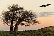 Lappetfaced Vulture - Baobab Tree - Botswana