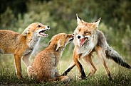 Fox family in the dunes