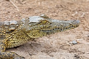 Juvenile Nile Crocodile